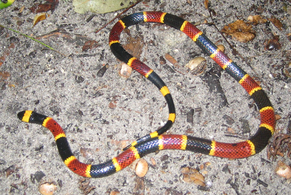Eastern Coral Snake in Orlando, FL