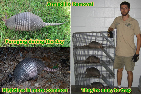How to Trap an Armadillo Trapping Tips and Bait Advice