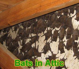 Bats In The Attic How Do You Get Bats Out Of The Attic