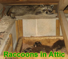 Animal In The Attic How To Get Animals Out Of Your Attic