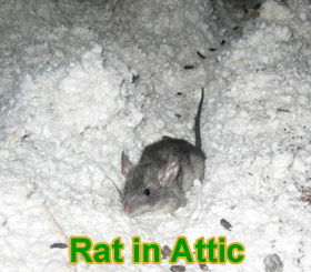 how high can rats climb
