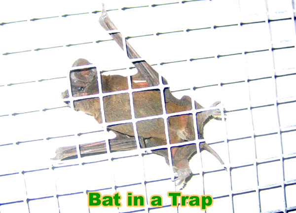 bat trapping and removal
