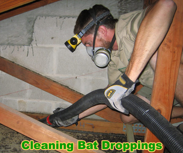 How To Clean Bat Guano Urine Waste Droppings Poop