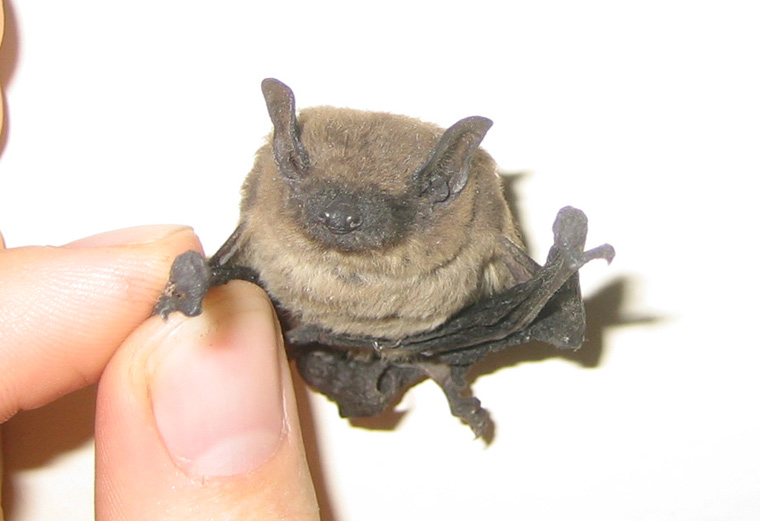 what does an evening bat look like