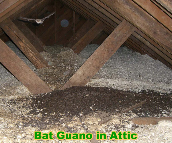 How To Clean Bat Guano, Urine, Waste, Droppings, Poop