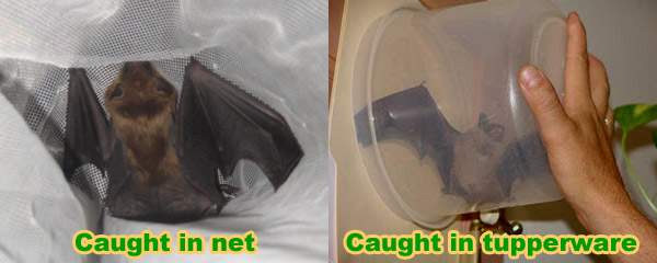 How To Catch A Bat