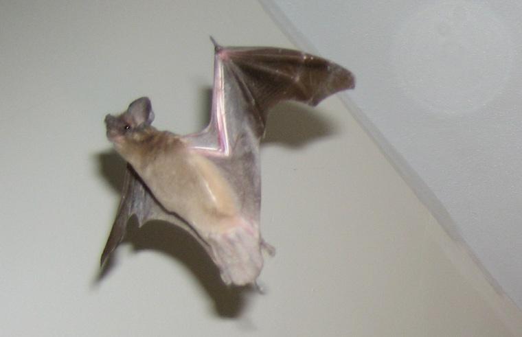 Can Bats Chew Though Spray Foam Wood Or Screen