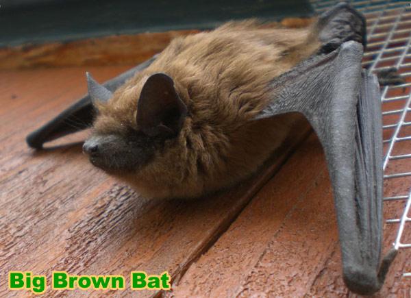 Colonizing Bat Species Brazilian Free Tail Evening Bat