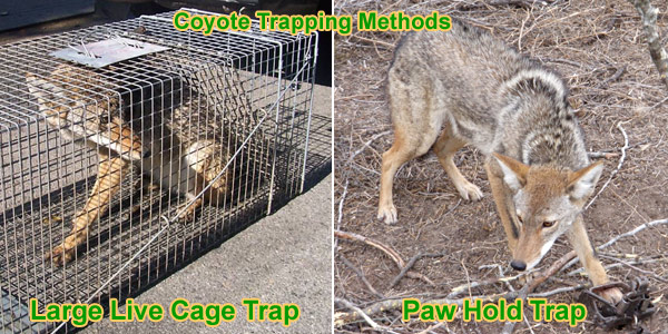 Gear for Coyote Trapping