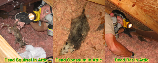 Dead Animal In Attic Bad Smell And Odor In Ceiling Or