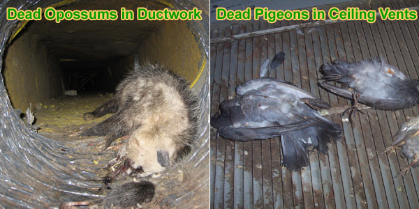 Dead Animal In Duct Work - Bad Smell and Odor in Vents