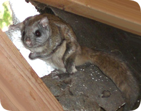 How To Get Rid Of Flying Squirrels In Your Attic