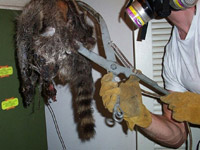 Wildlife Removal Photo Picture Gallery