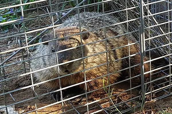 Groundhog Prevention Tips How To Keep Groundhogs Away