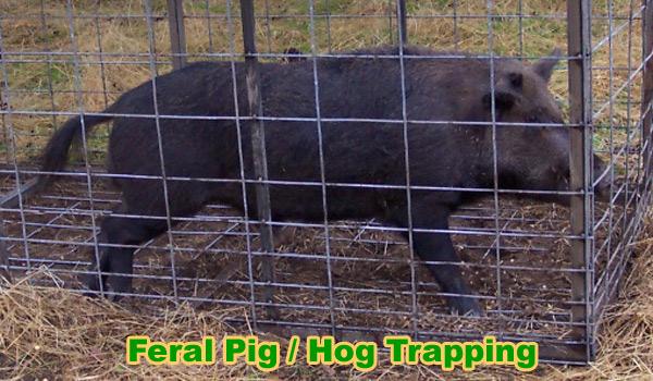 Feral Pig Removal Wild Hog Control
