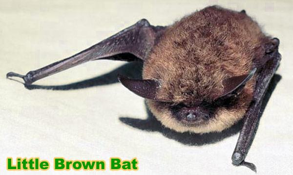 Little brown bat - photo#14