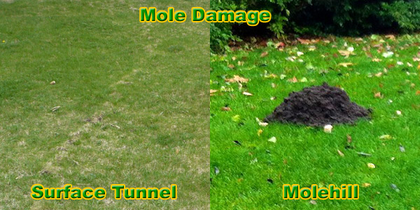 Mole Removal And Control Animal