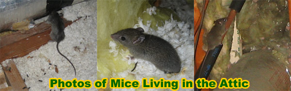 Mouse in the Attic How to Get Rid of Mice In the Attic