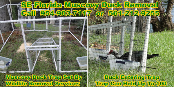 How To Get Rid Of Muscovy Ducks Removal In Florida