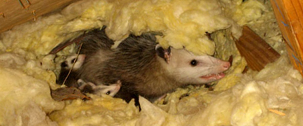Opossum In The Attic How Do You Get Possums Out Of The Attic