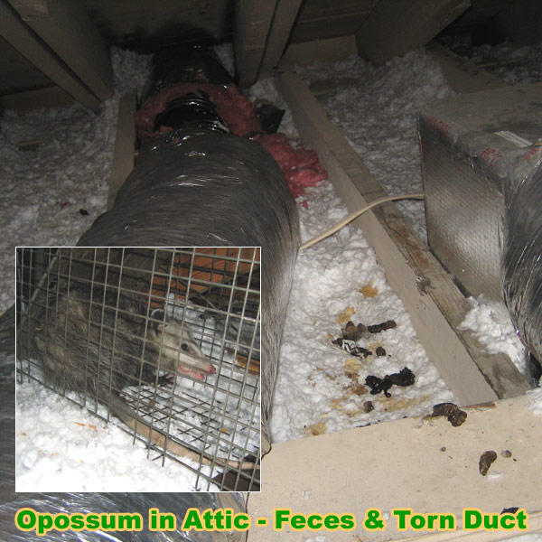 Possum Damage In House And Attic
