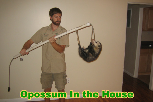 Possum in the House - How to Get an Opossum out of the Home