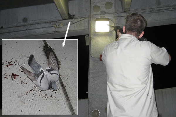 How to Kill a Pigeon - Shooting, Poisoning, Trapping