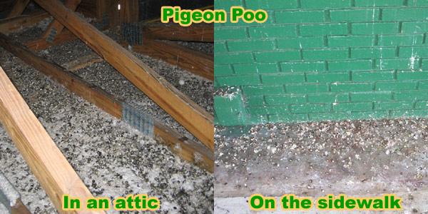 How To Clean Pigeon Poop Droppings From Sidewalk
