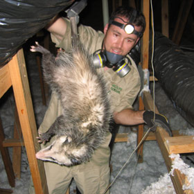 Opossum In The Attic How Do You Get Possums Out Of The