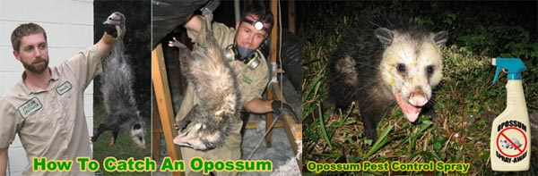 Opossum Removal and Control - Professional Wildlife Management