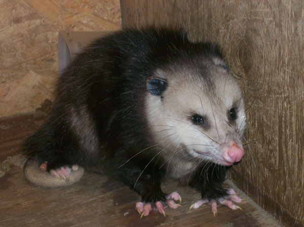 - How To Get Rid Of Possum Problems
