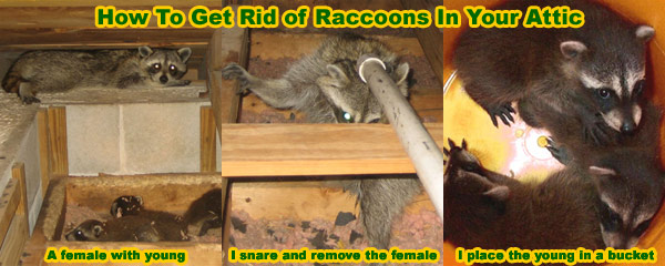 How to Get Rid of Raccoons in the Attic, House, Roof, Crawl Space