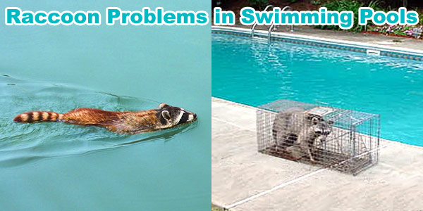 Raccoons Pooping in Swimming Pool - Problem with Raccoon Poo