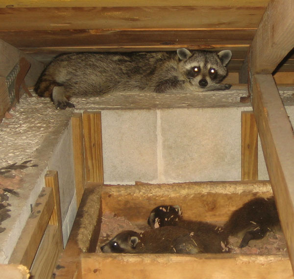 Step One: Go in the attic and find and remove the litter of baby raccoon  pups. 90% of the time, there will be young pups, even if you didn't know  that.