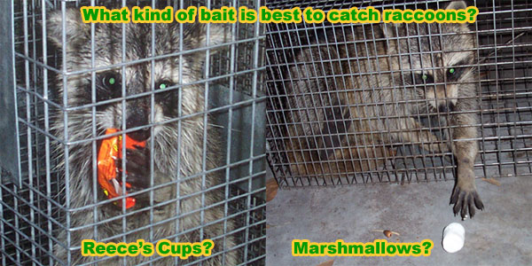 What Type Of Bait Is Best To Catch Raccoons Pet Food