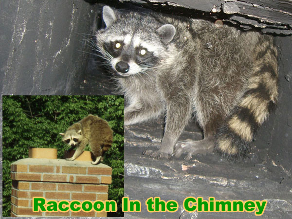How To Get A Raccoon Out Of The Chimney Animal Noises In