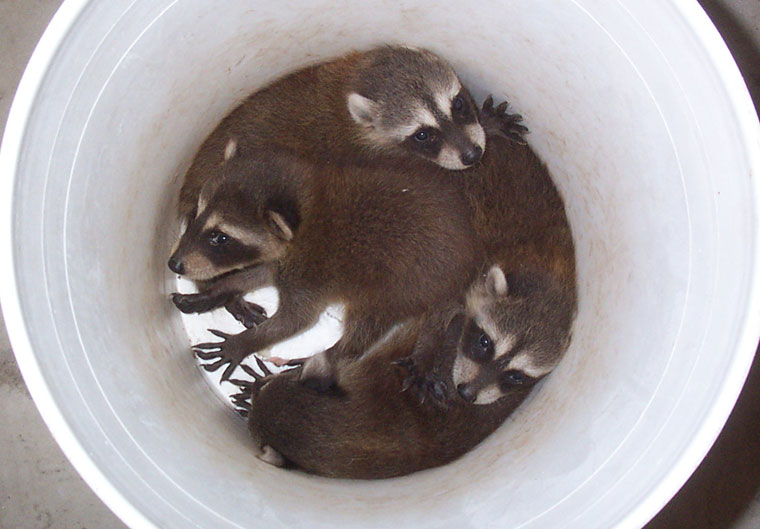 Best and Humane Ways to Kill a Raccoon in My Garden