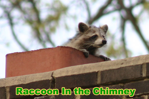 How to Get a Raccoon Out of the Chimney - Animal Noises in