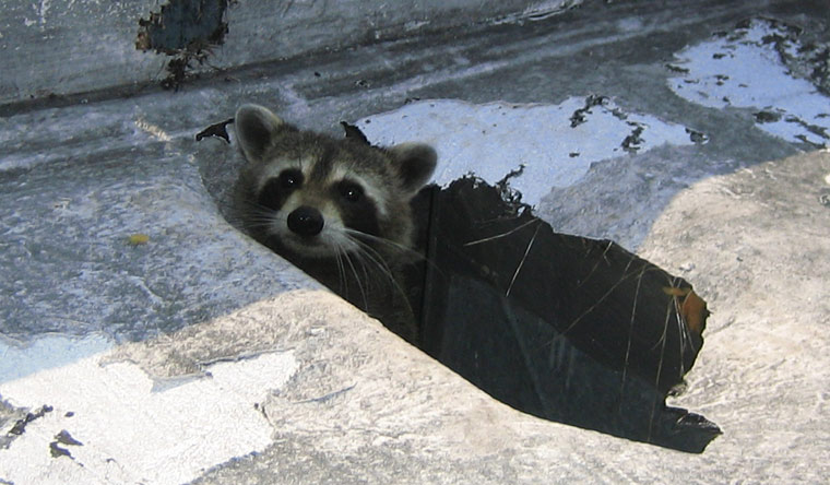 How to get a raccoon out of the house or home Raccoon In Ceiling Mobile Home on raccoon in bedroom, raccoon in bed, raccoon in kitchen, raccoon in attic, raccoon in garage, raccoon in paint, raccoon in space, raccoon in room, raccoon in box, raccoon in office, raccoon in sink, raccoon in building, raccoon in water, raccoon in bathroom, raccoon in log, raccoon home, raccoon in bath, raccoon in wall, raccoon in the floor, raccoon in chair,