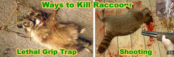 How To Kill A Raccoon