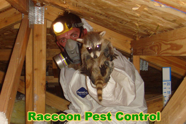 Raccoon Pest Control Animal Critter Removal