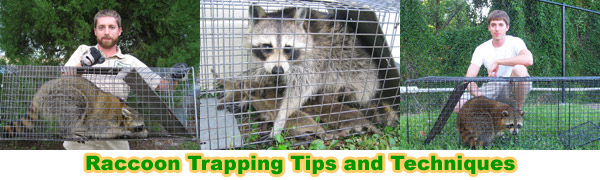 How to Get Rid of Raccoons in the Attic, House, Roof, Crawl