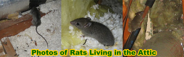 Rats In The Attic How Do You Get Rats Out Of The Attic