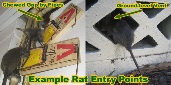 How To Get Rid Of Rats In The Basement Or Cellar