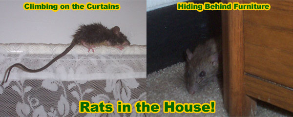 How to kill a rat in your house
