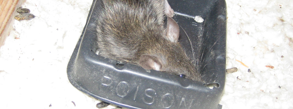 How to kill a rat in your house, instantly and humanely