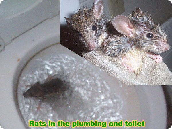 Rats in the Toilet - How Do They Get In?