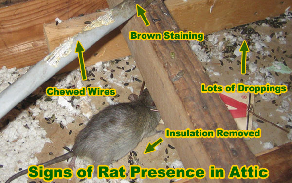 Photos Of Damage From Rats Living In Attics And Buildings
