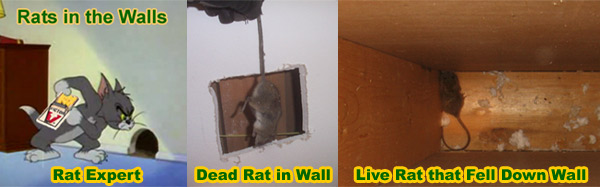How Is A Rat Getting In My House Building Or Attic