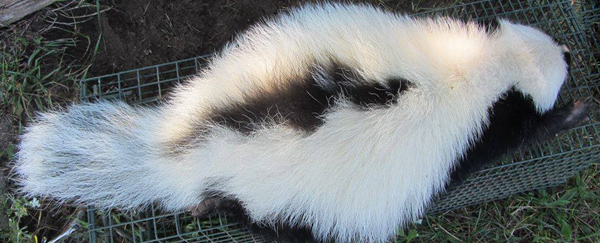 How to find and remove a dead skunk